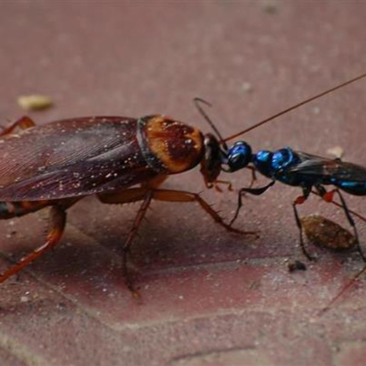 Seen here is the female jewel wasp leading a cockroach back to her place, where she will make sweet, sweet terror to it. All's fair in love and war, right?