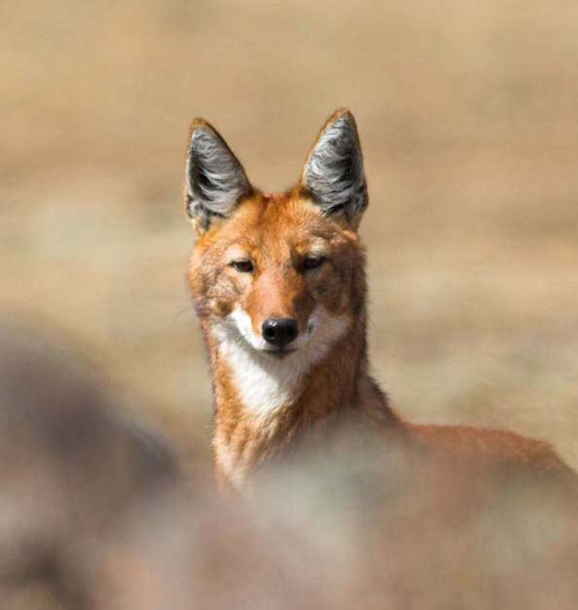 The sly grin and sharp angles of the Ethiopian wolf are almost coyote-like, but there is no immediate relation.