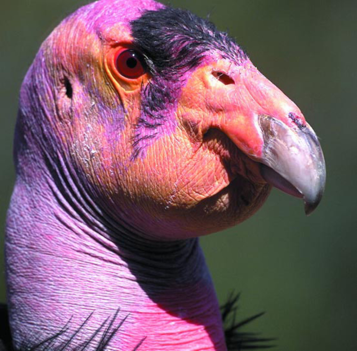 This picture of a California Condor show its distinctive bald head.