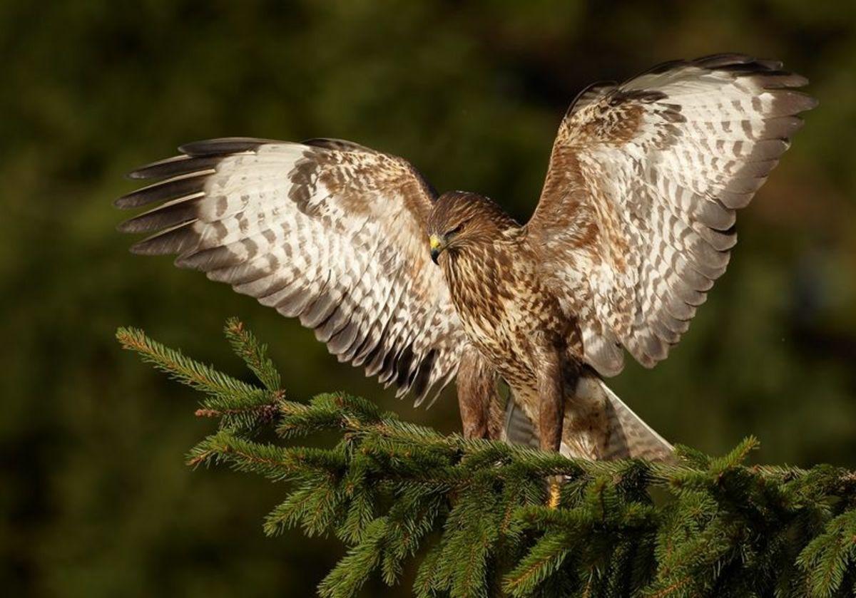 True buzzards are actually hawks.  Turkey Vultures are not hawks or buzzards.