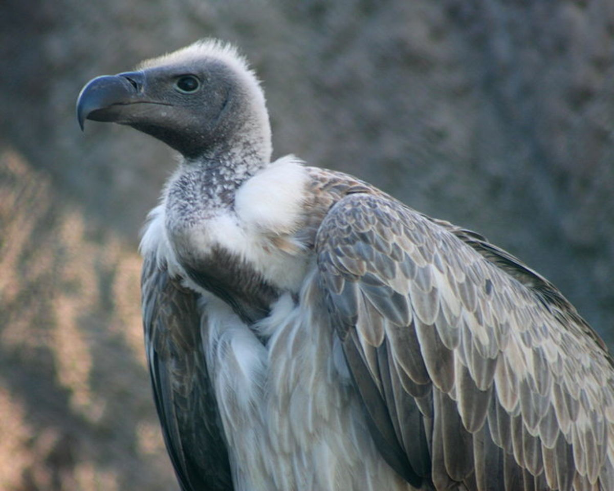 True vultures live in Africa and Asia.  Turkey Vultures live in the Americas.