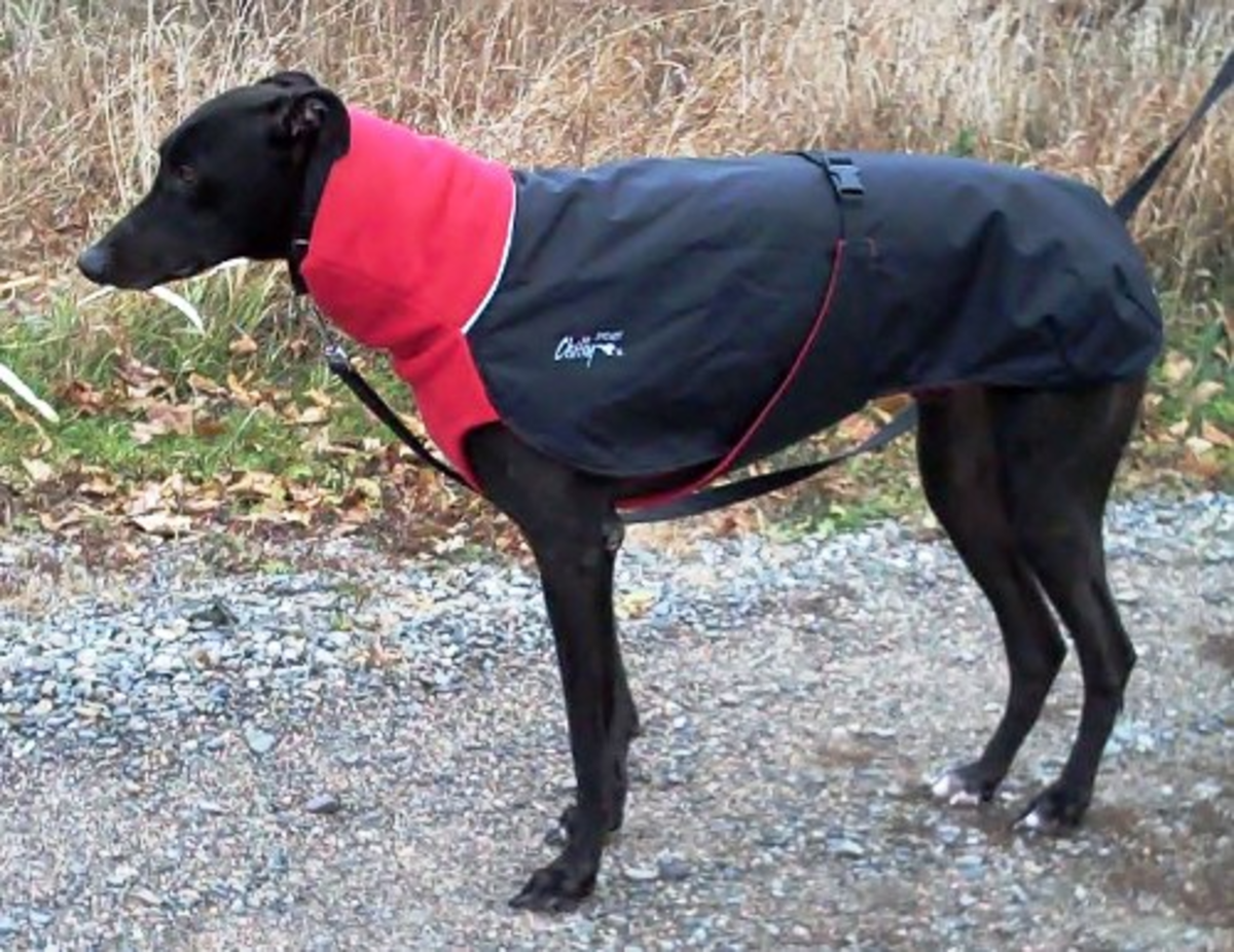 Greyhound in Nylon-and-Fleece Winter Coat - Photo copyright © Flycatcher