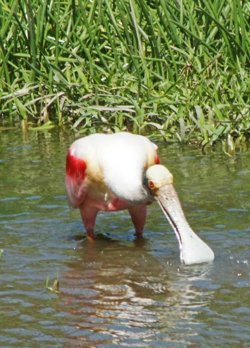 shore-birds-of-costa-rica