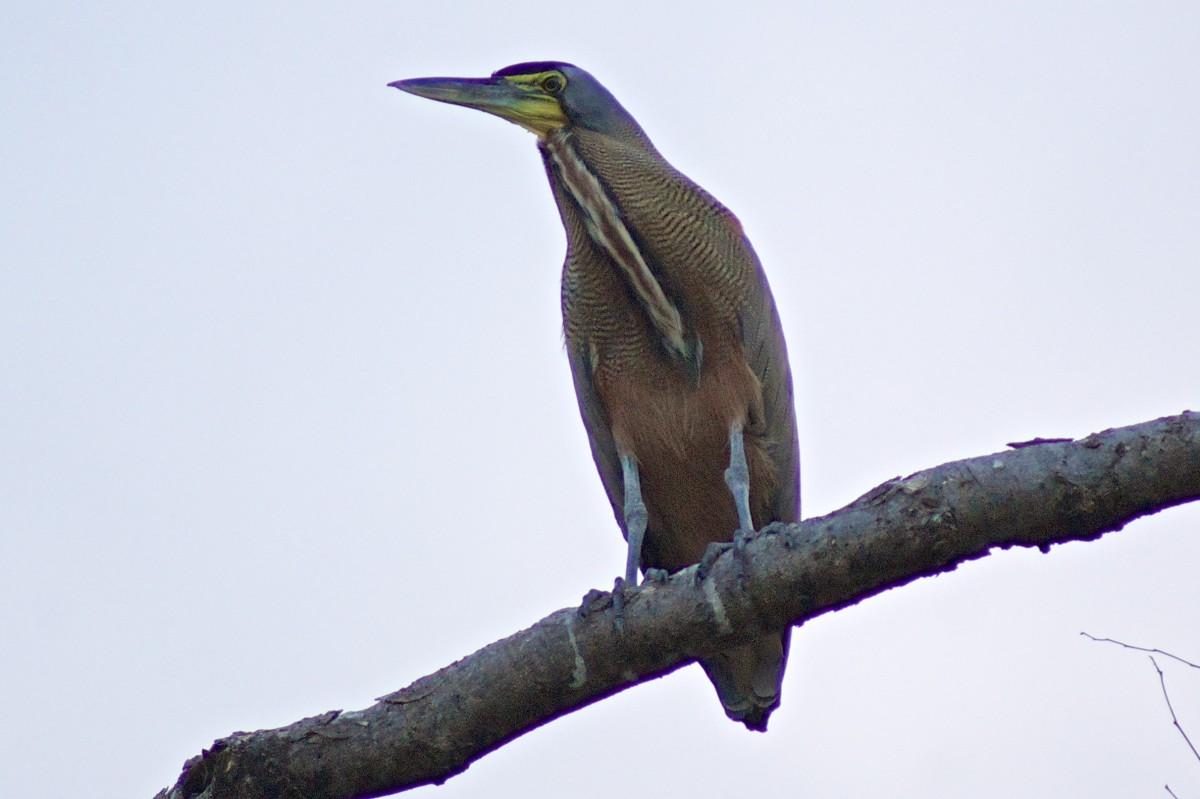 A bare-throated tiger heron perched high on a tree branch on a Guanacaste beach.  Possibly an immature specimen.