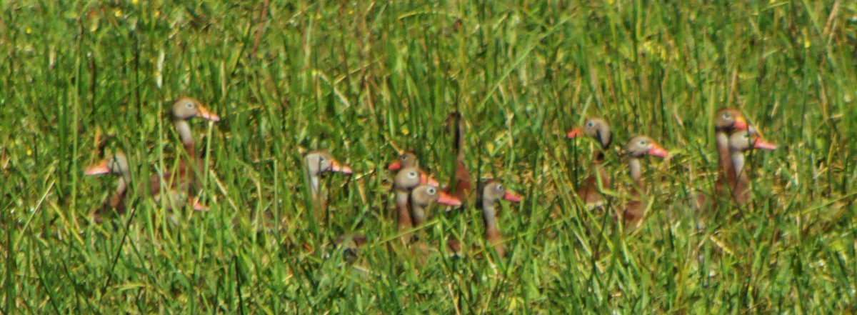 Whistling duck heads peaking over the tall grass of a swampy area where they are feeding.
