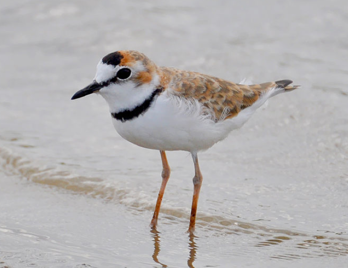 Charadrius collaris, or Collared Plover on the beach.