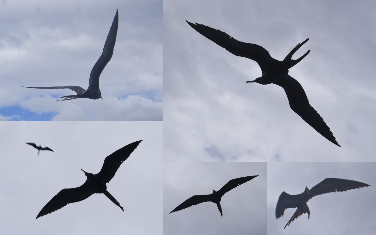 Frigatebird silhouettes taken in 2011 off the shore of Playa Esmeralda.