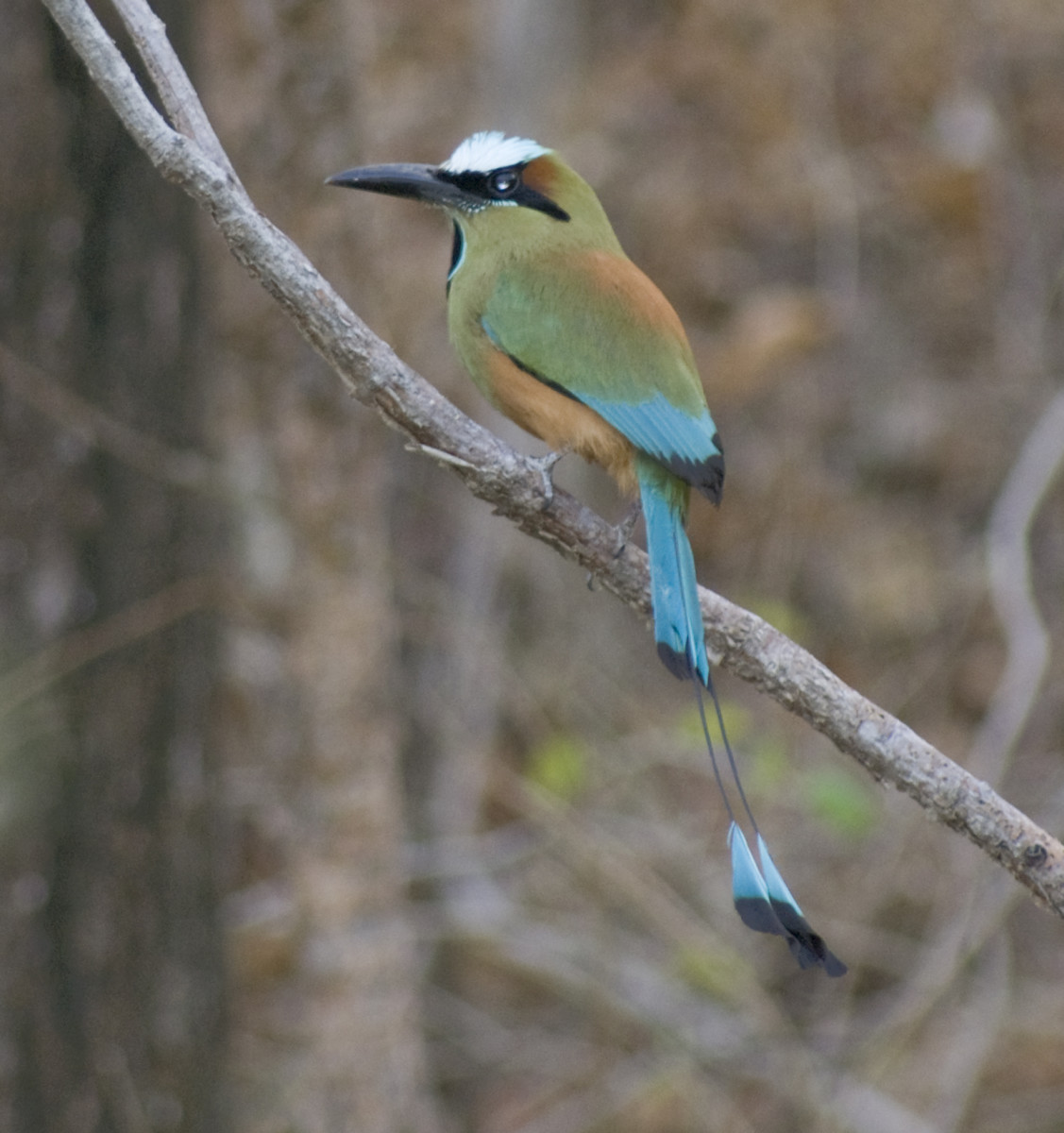 While you are on the beach, it is likely that you will see a Torquoise-browed Motmot hanging around.  They like to live in burrows in dirt banks or steep hillsides that are commonly found along the ocean.  They can also be found in the inland.