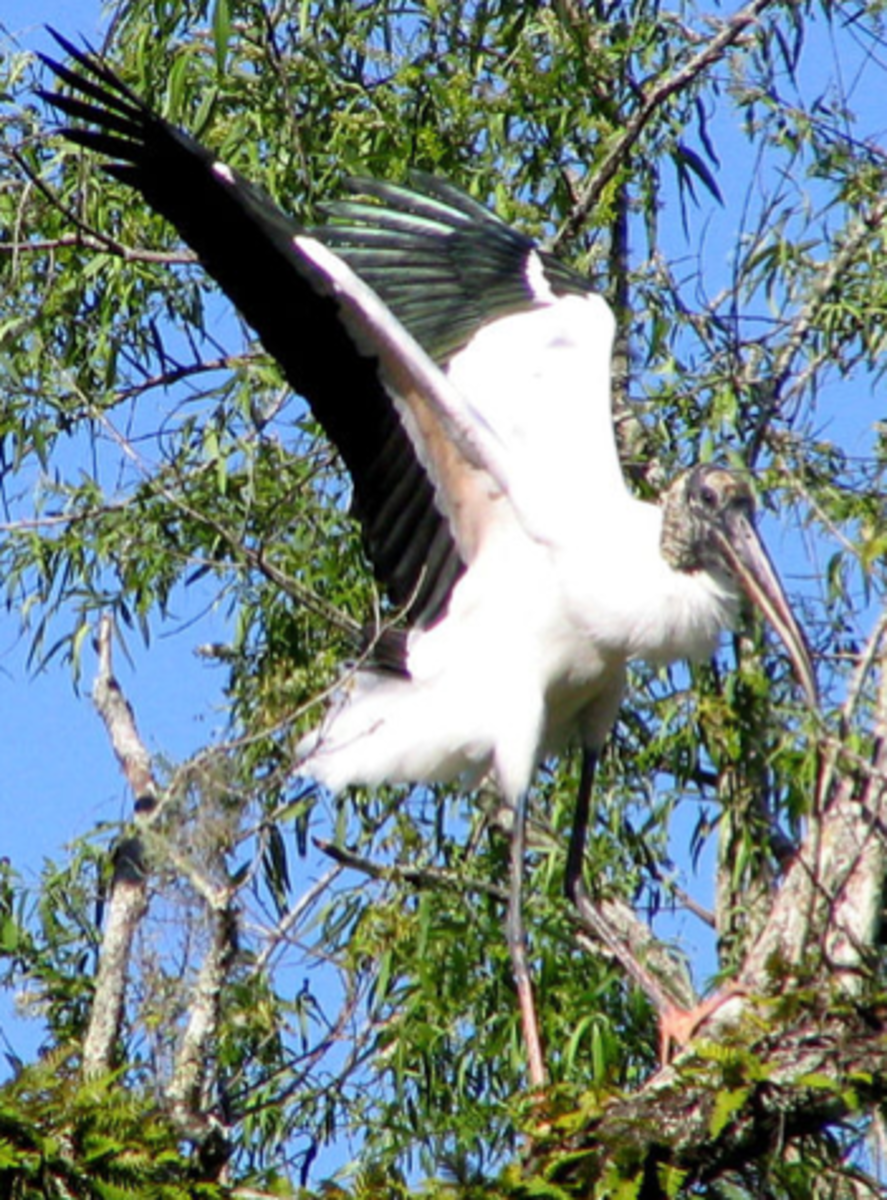 Wood stork landing in a tree, showing the black-tipped wings, bald head and long legs.