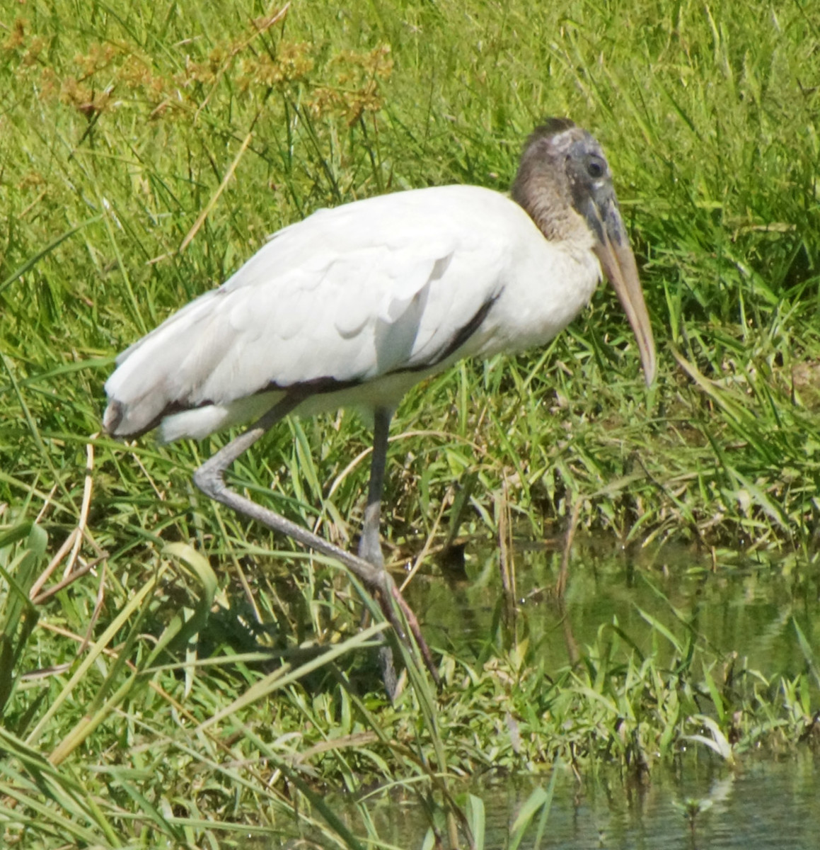 The Wood Stork resting on one leg.