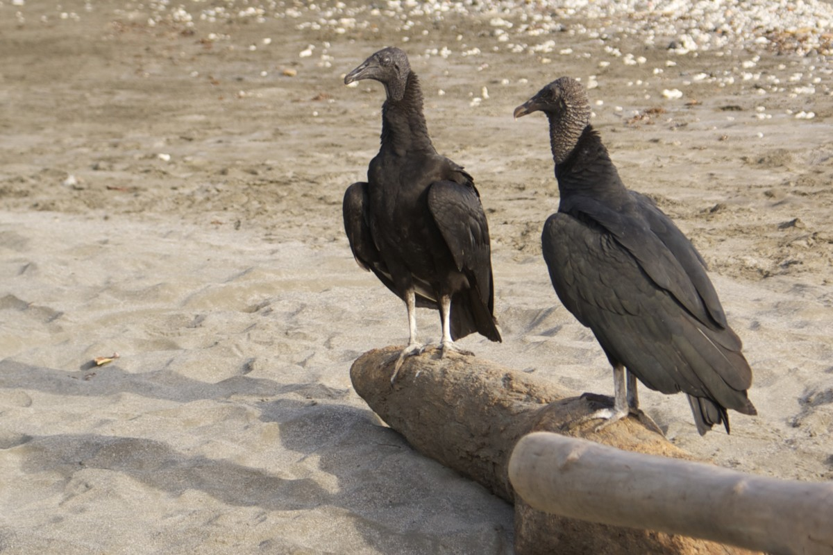 Black vultures seen on the beach at Playa Largato, looking for their next meal in a fishing village.