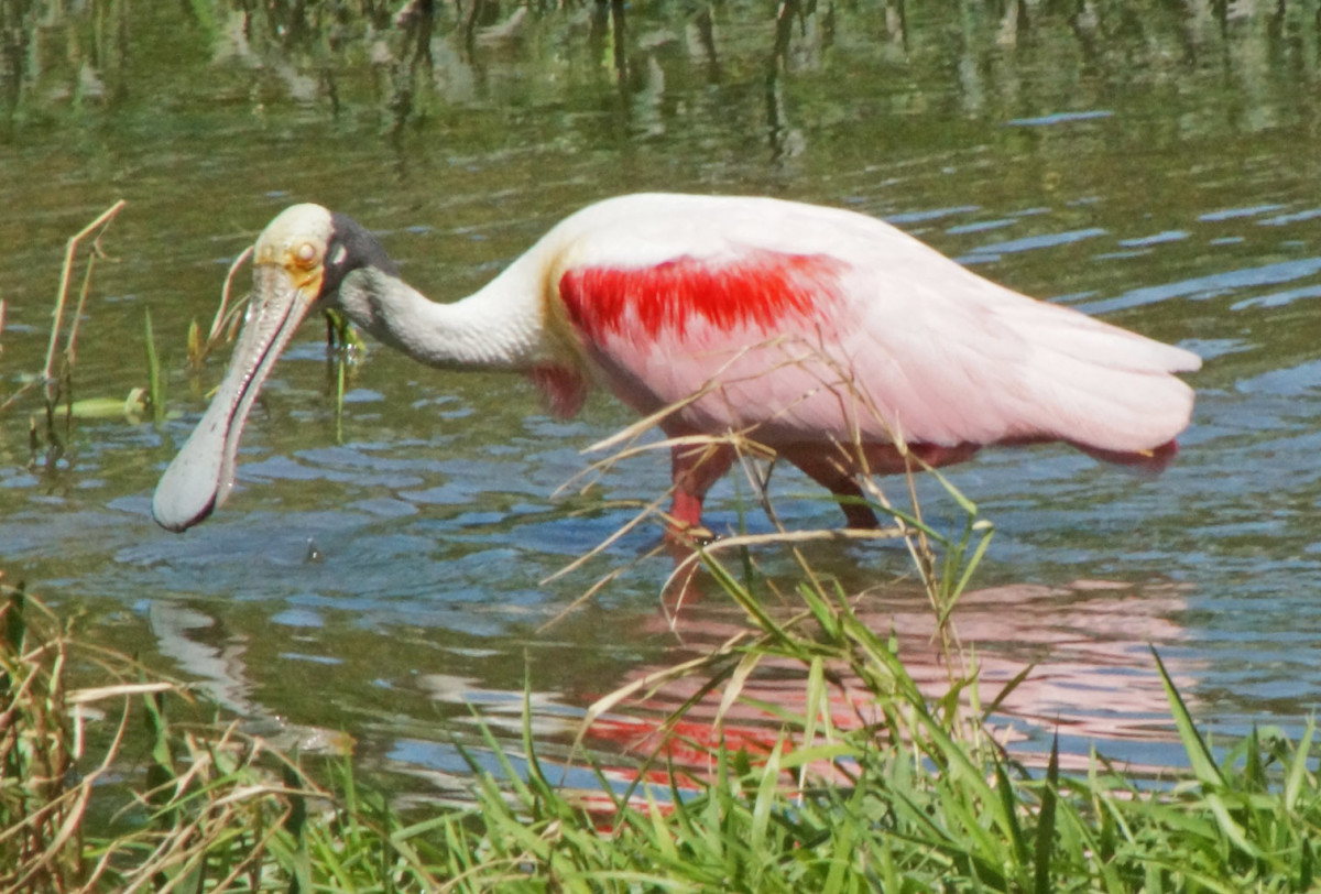 The colorful Roseate Spoonbill in a freshwater lagoon.