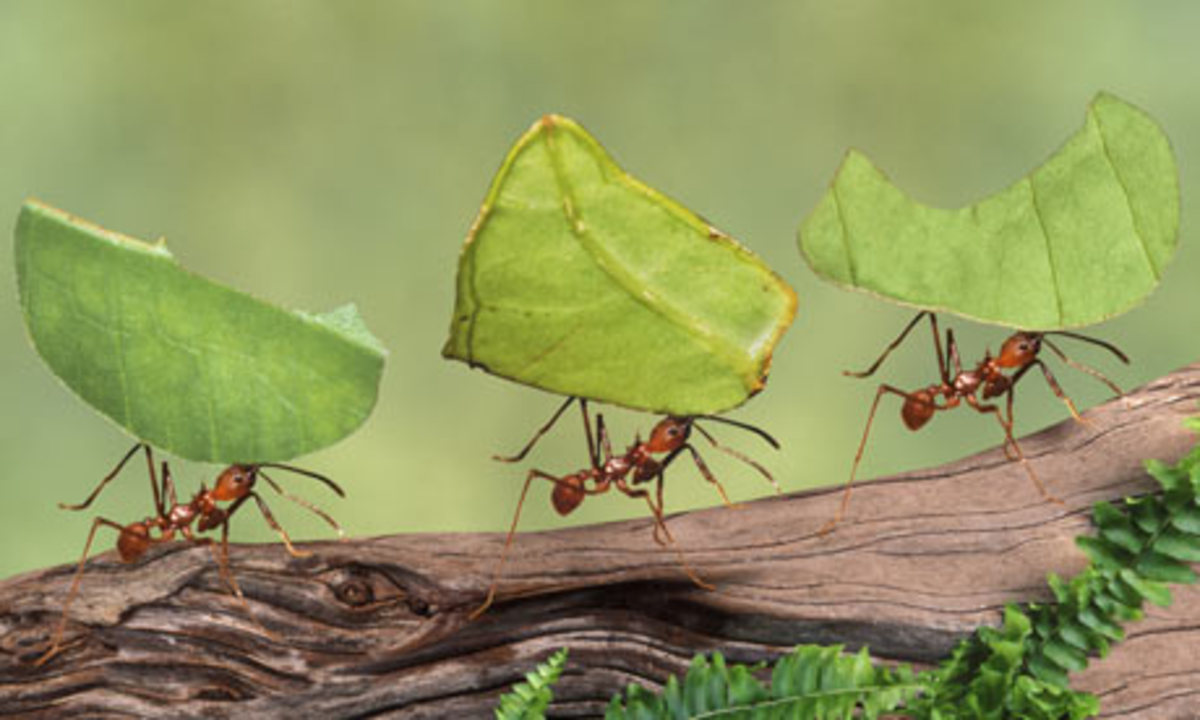 This leaf-cutter ants hauling leaves more than three times their size.