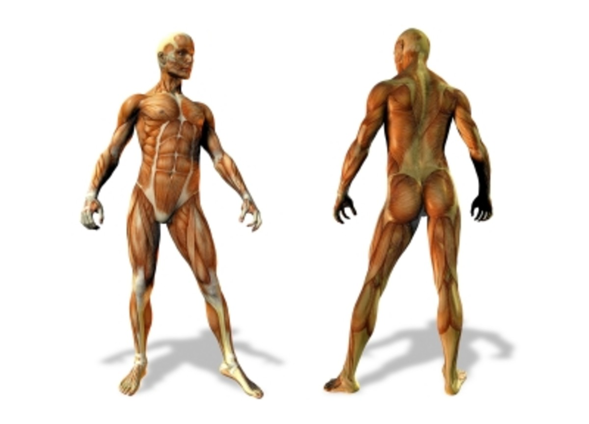 the-organ-systems-of-the-human-body