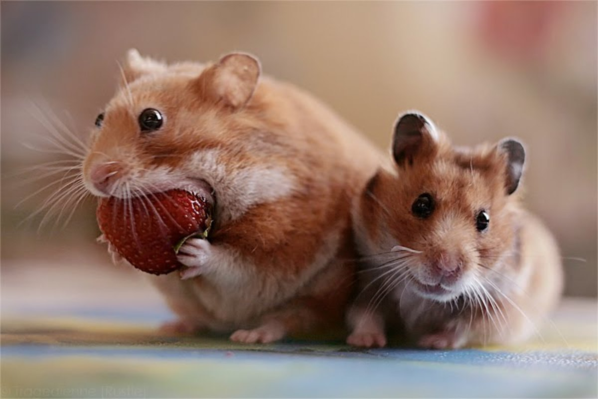 Strawberries Are A Favorite Treat Of Hamsters