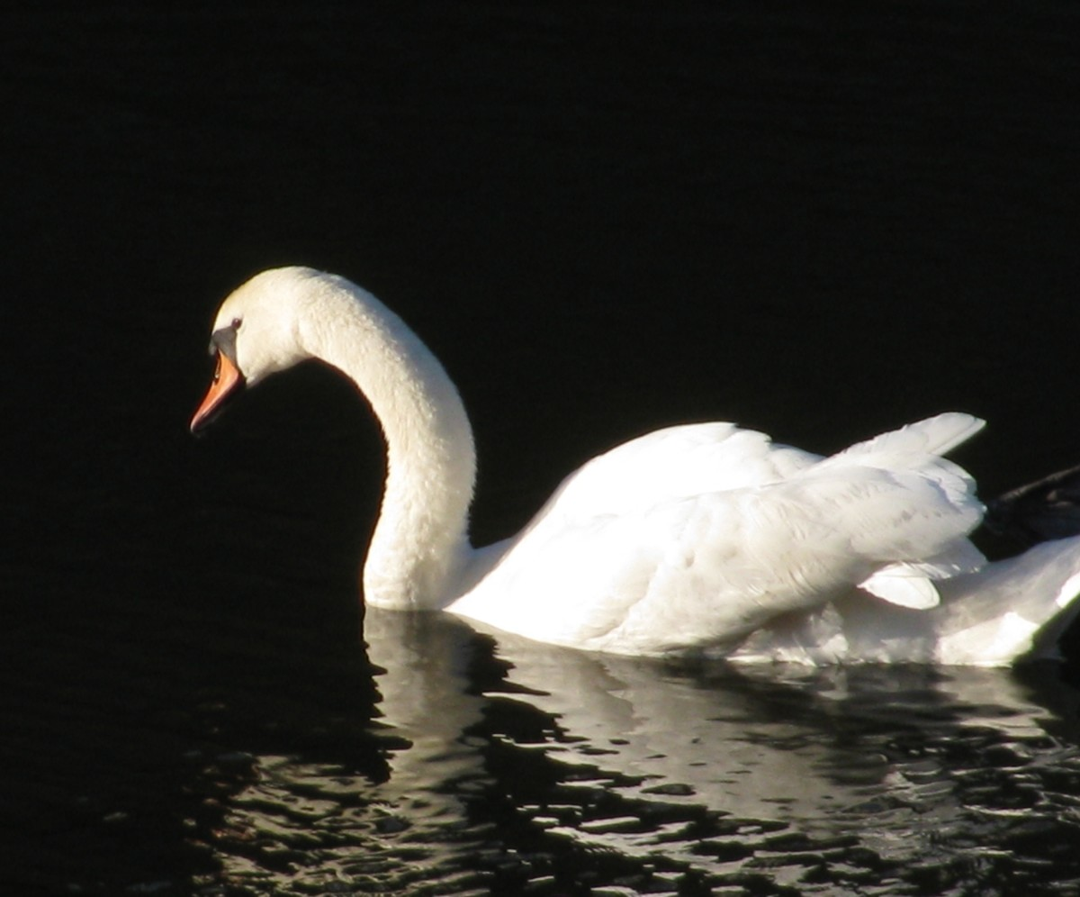 Swans, ducks and water-voles are all residents on the canal