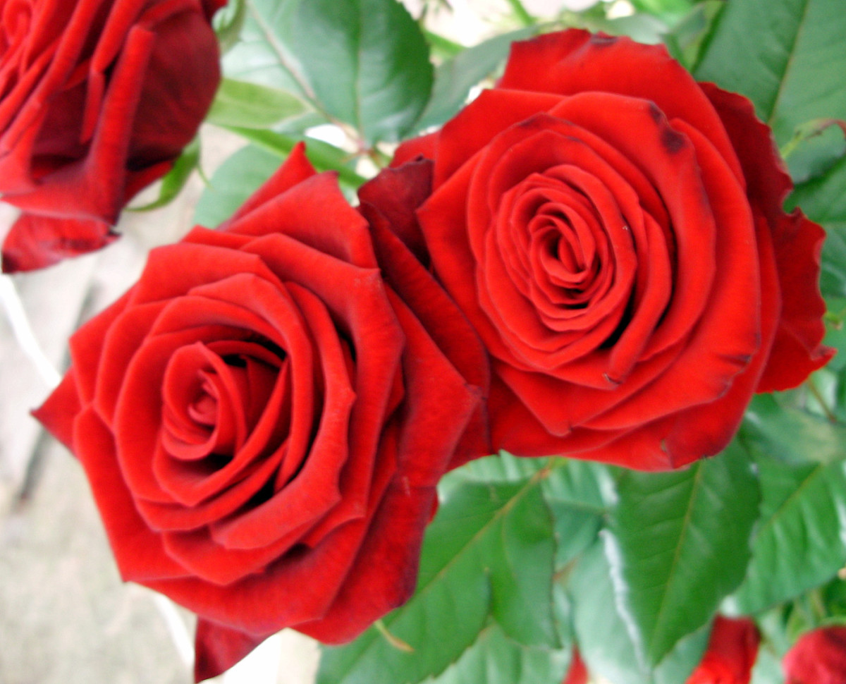 Ten Different Flowers to Give to your Loved One On Valentines Day