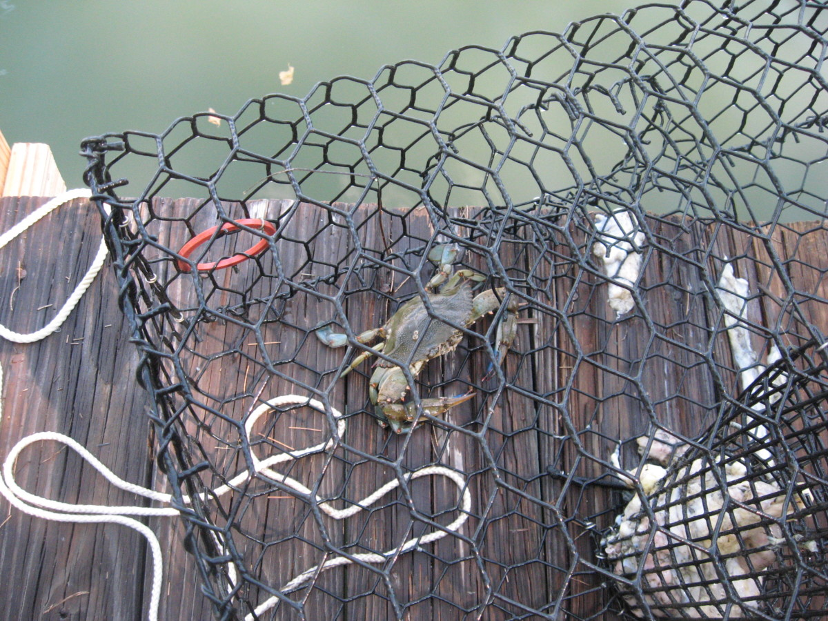 We enjoy catching and eating blue crabs.