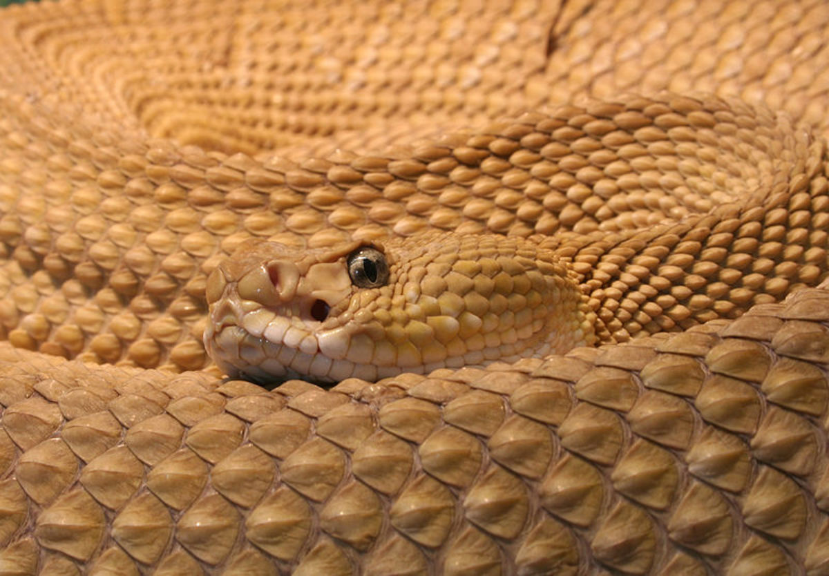 Mexican West Coast rattlesnake, a member of the Viperidae family.