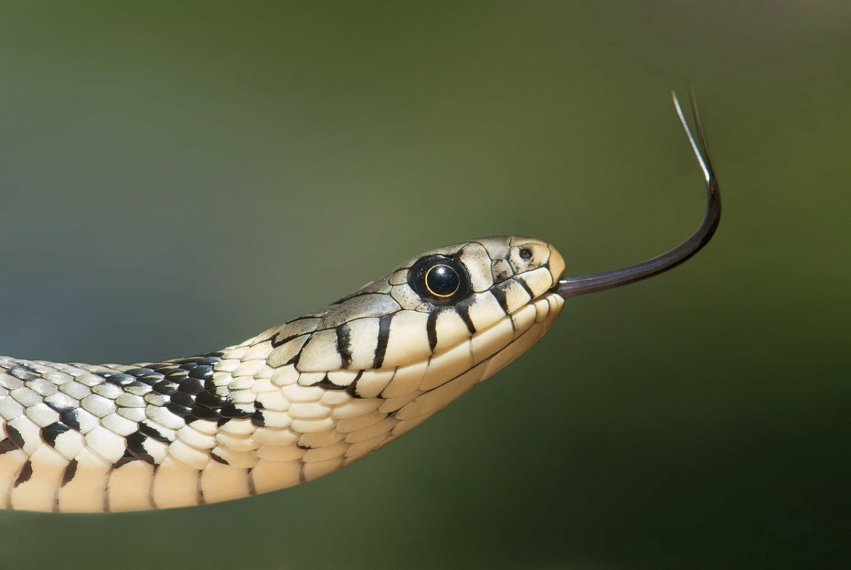 A grass snake is terrestial as the name suggests.