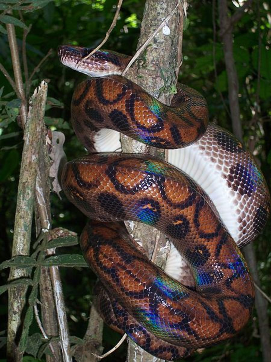 The rainbow boa also spends a lot of its time on trees
