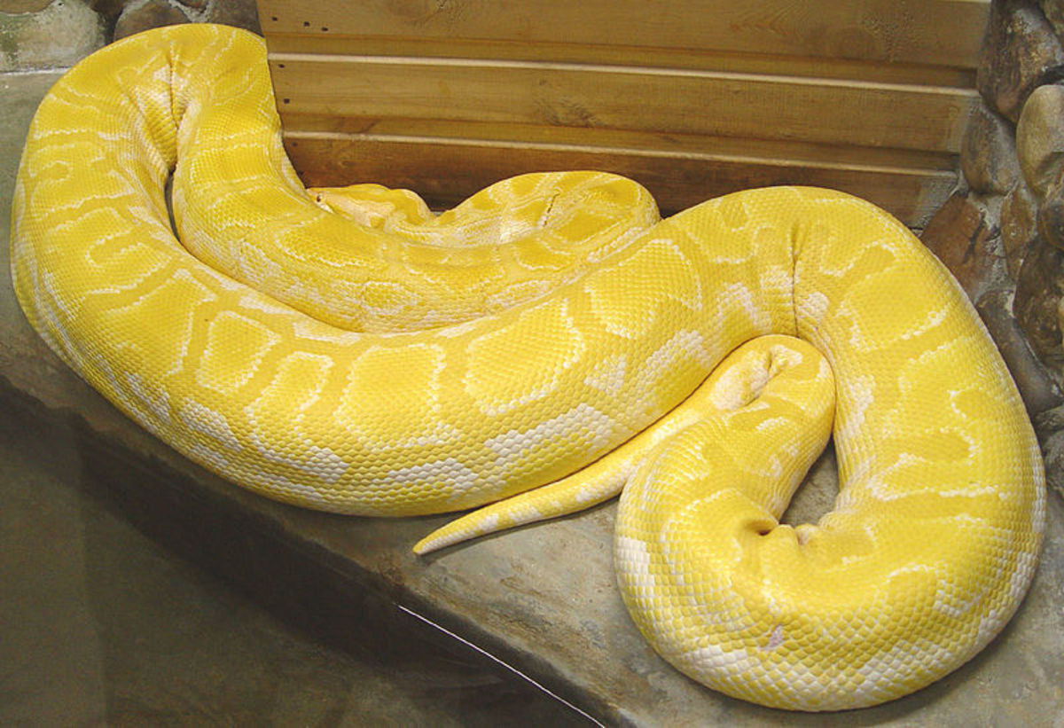 An albino Python morulus, another species in the Python genus.