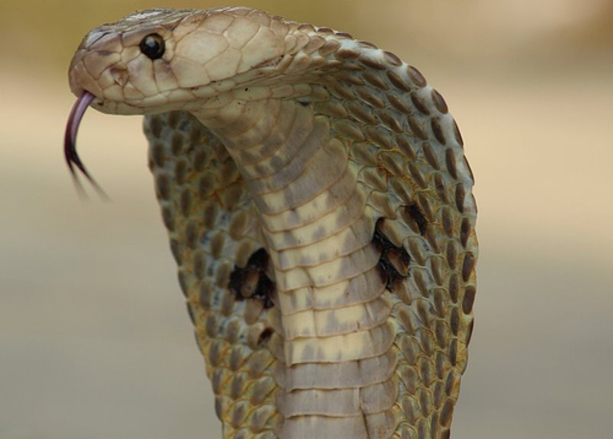 The Indian cobra belongs to the family Elapidae and its venom contains mostly neurotoxins.