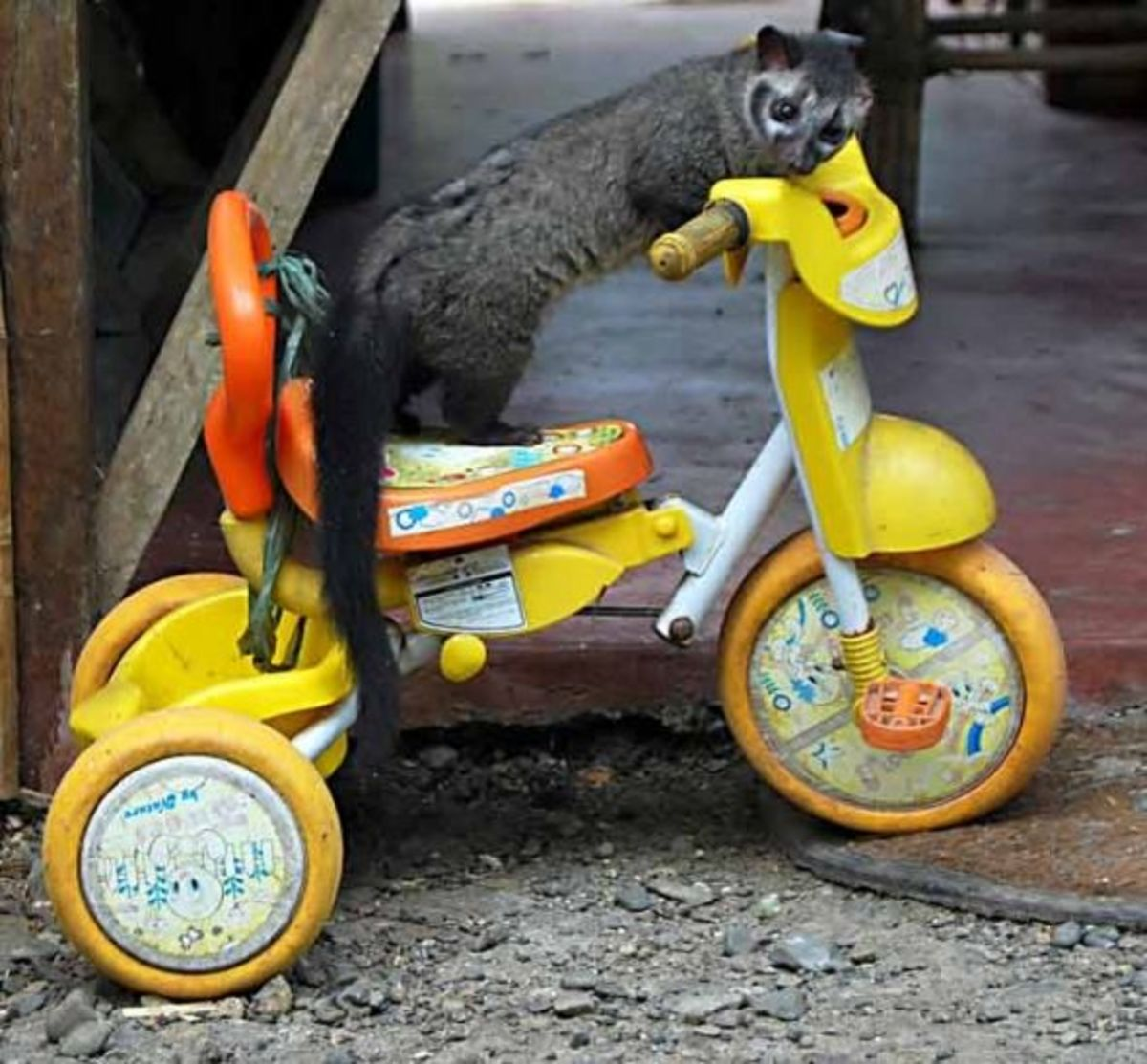 masked civet on toy tricycle