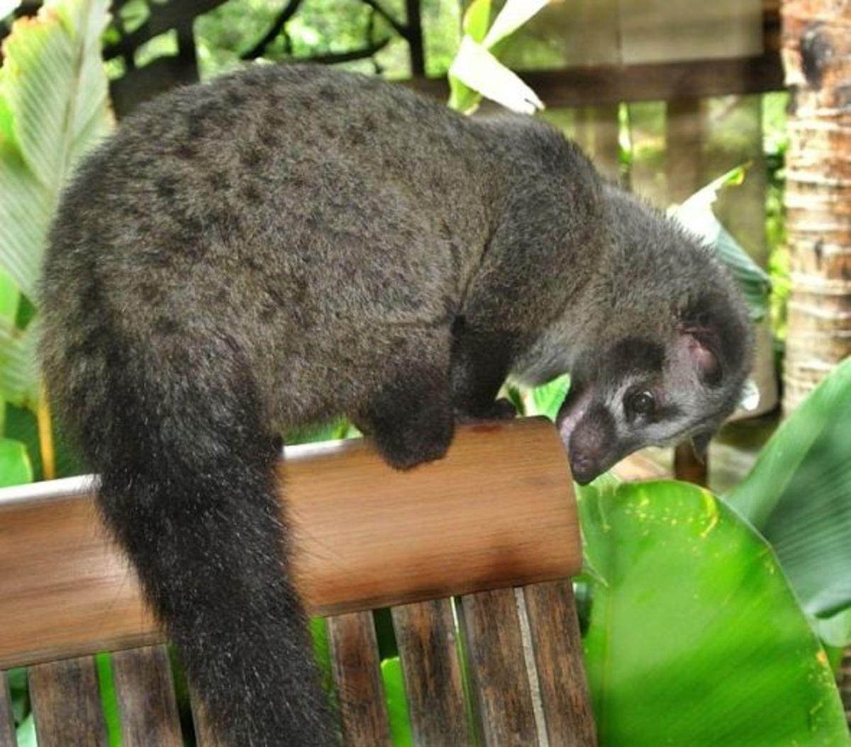 Bindi 7 month old musang-masked Asian palm civet