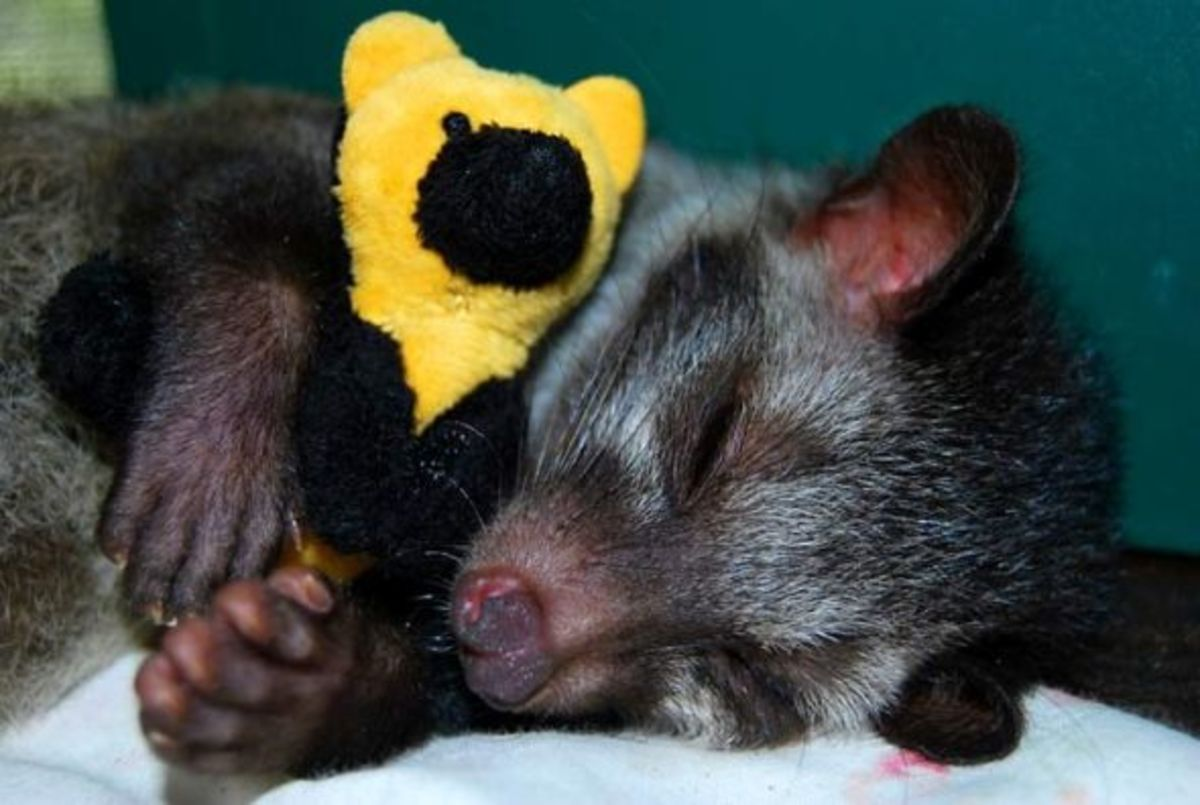 masked civet and her toy