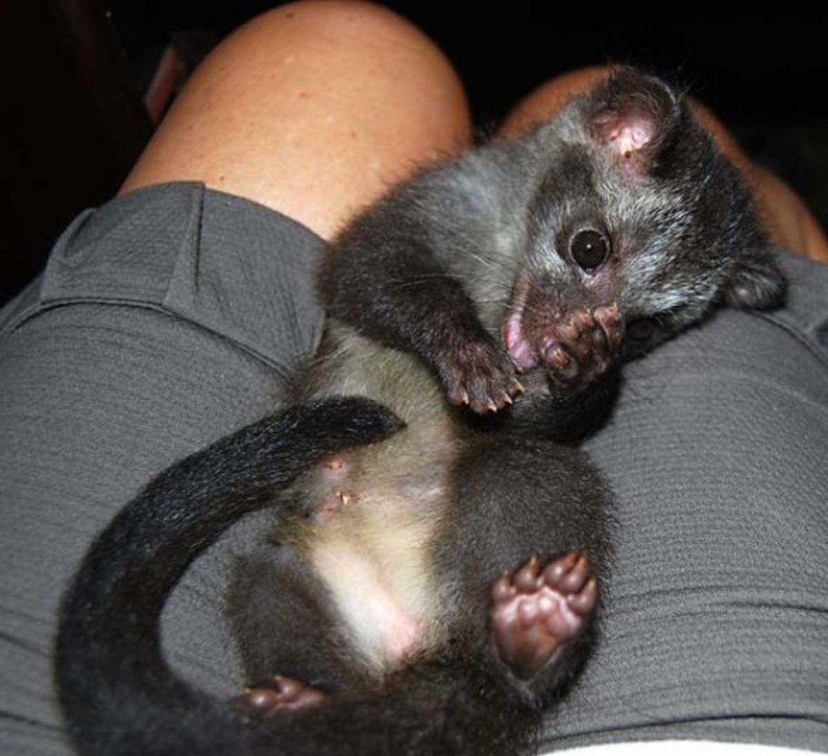 Masked palm civet at 2 weeks old