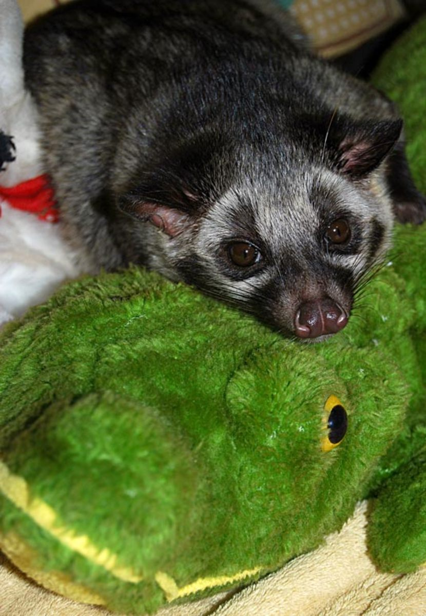 Bindi the masked Asian palm civet rescue