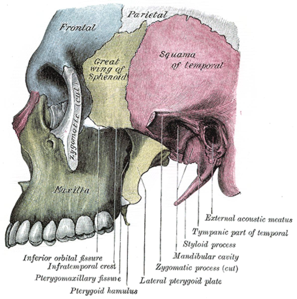 Maxilla (in green) in the human skull.