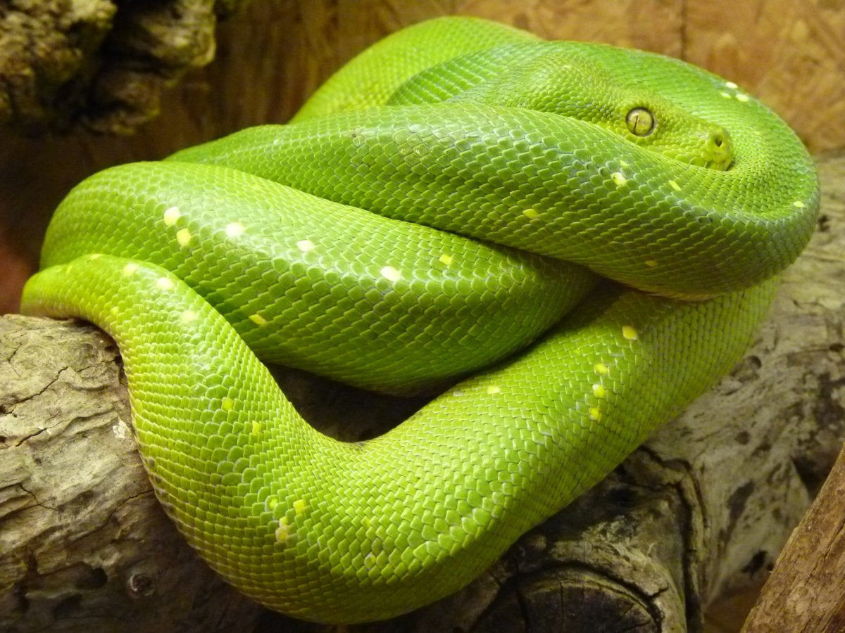 It is hard to believe that snakes have bones, given how they can tie themselves in knots, like this green tree python.