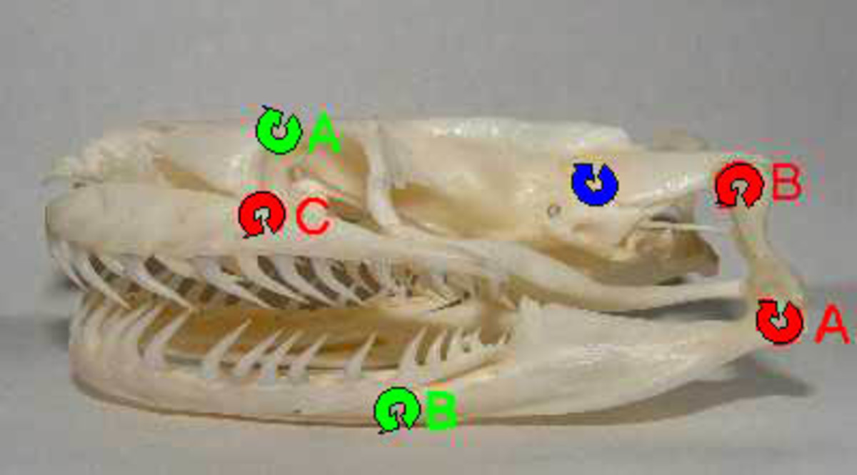 The skull of a Burmese python has many mobile joints.  Joints marked in red are highly mobile, while those marked in green are somewhat mobile.