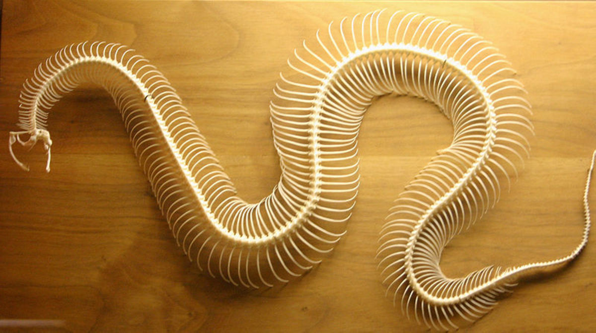 A snake skeleton has many more vertebrae than a mammal.