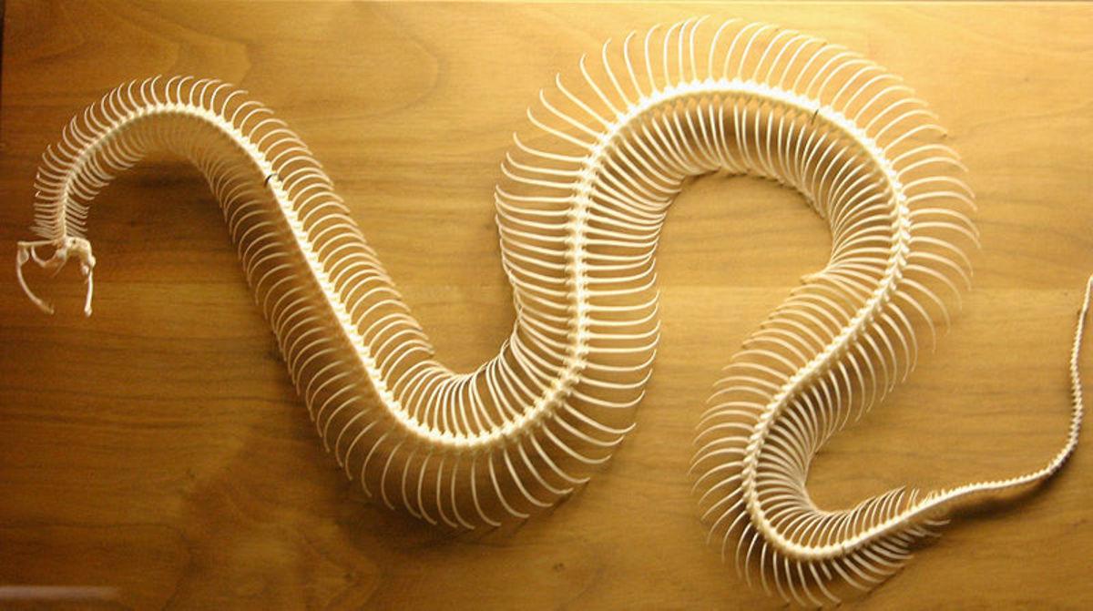 A snake skeleton has many more vertebrae than a mammal.