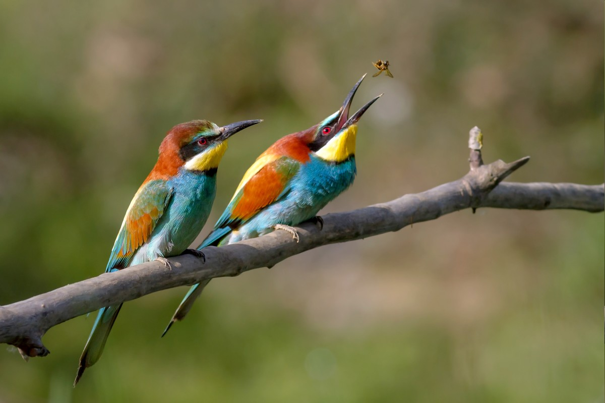 European Bee-eater, public domain image found on Wikimedia Commons.