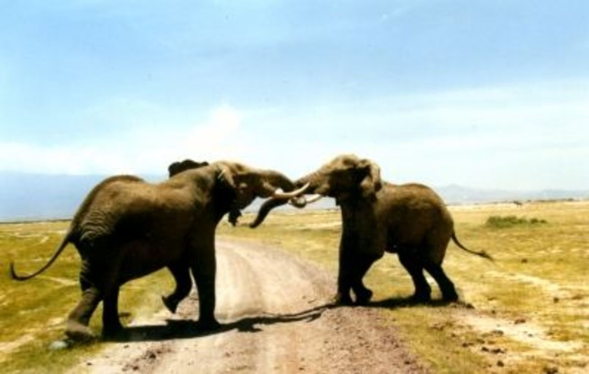 Elephants fighting in Kenya, Africa