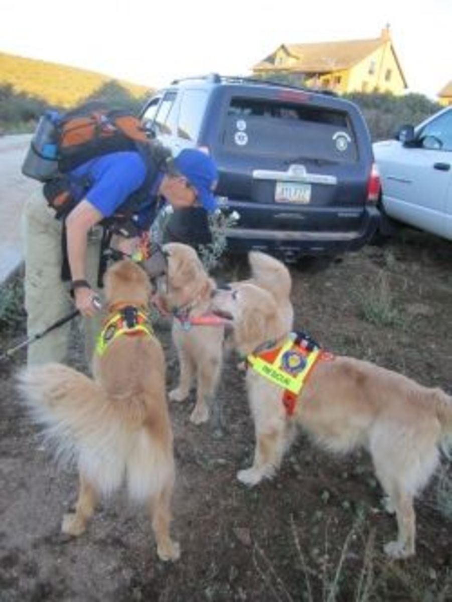 Canine Handler, Cindy, and three of her Golden Retriever area search dogs, getting ready to search for a missing child