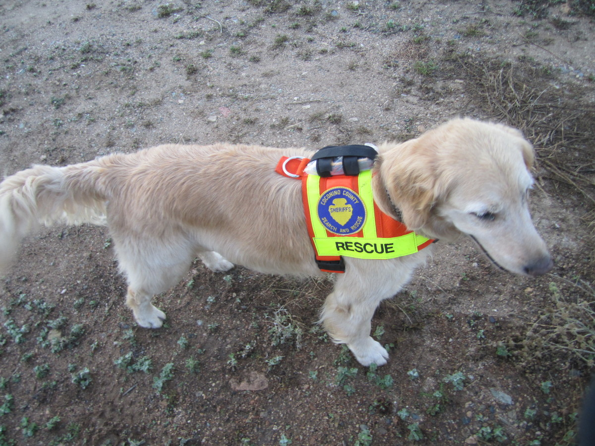 A Search & Rescue dog named Inspector Gadget. Gadget is an area search dog with the search and rescue unit based in Flagstaff, AZ.