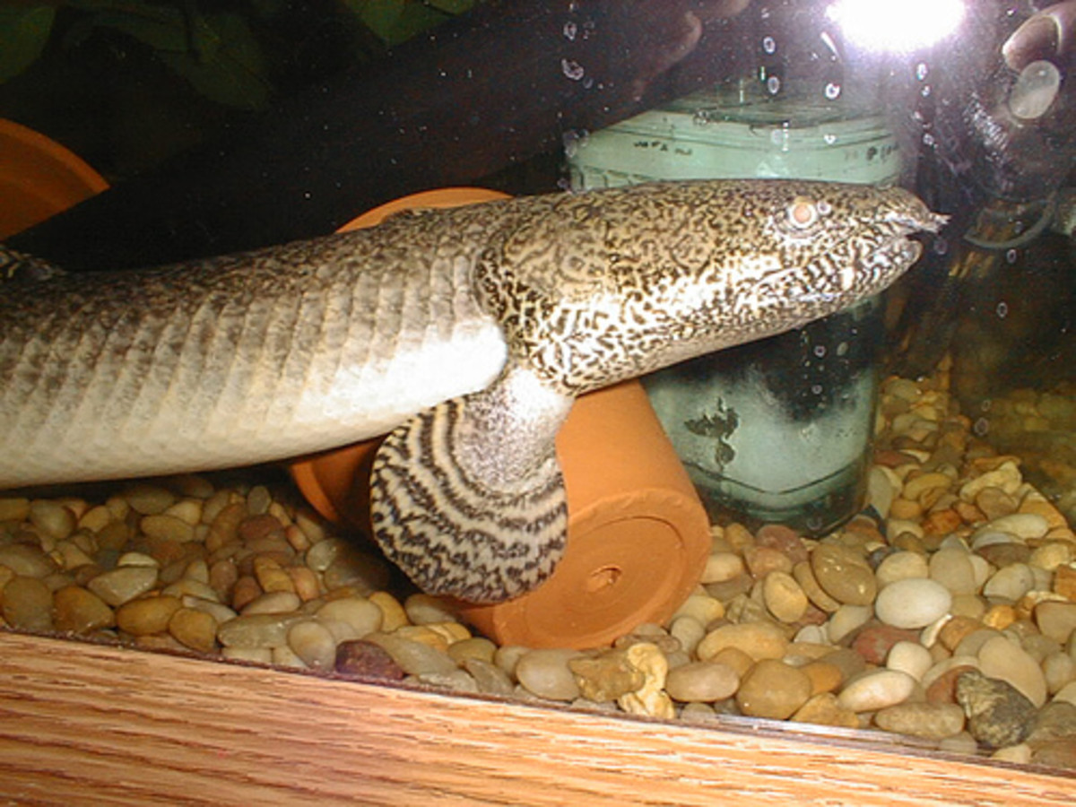 The bichir species real life dragons hubpages for Real life fishing games