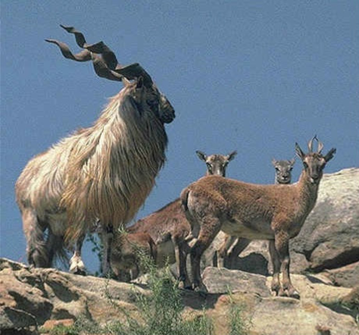 Markhor is the national animal of Pakistan, but K2 and us are not likely to cross paths with these beautiful animals.