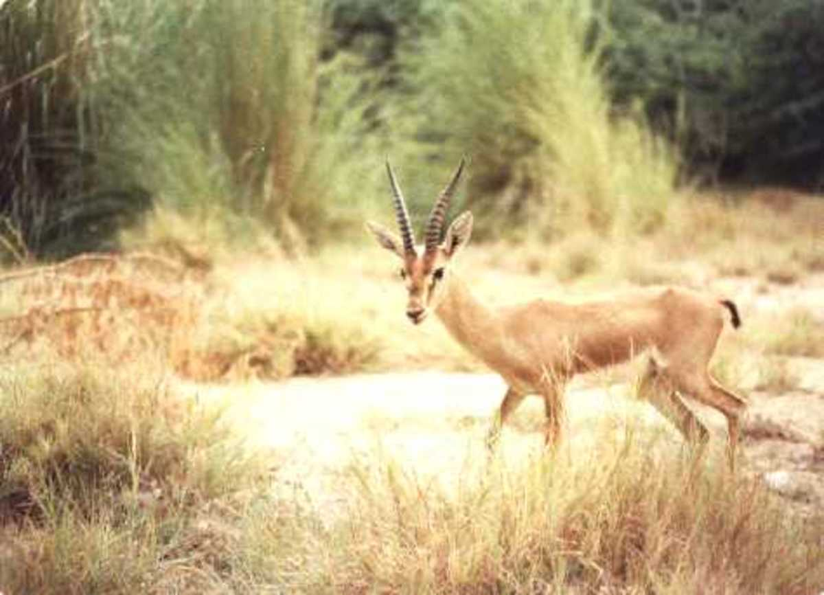 A male chinkara gazelle. Gazelles can be seen in Kirthar Range National Park near Karachi.