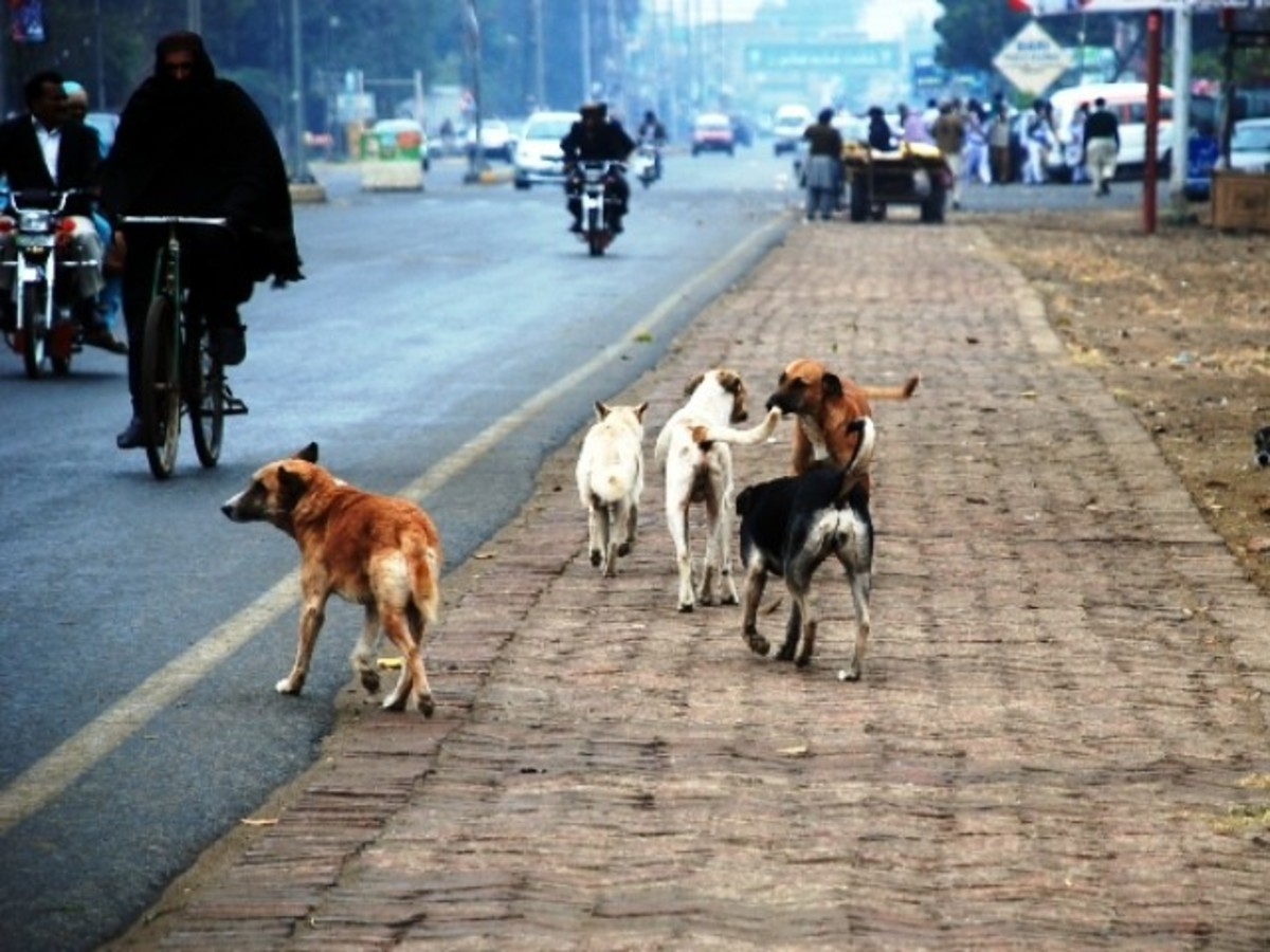 I have no clue how would these feral or stray dogs behave if they see K2 and us hiking close by them.