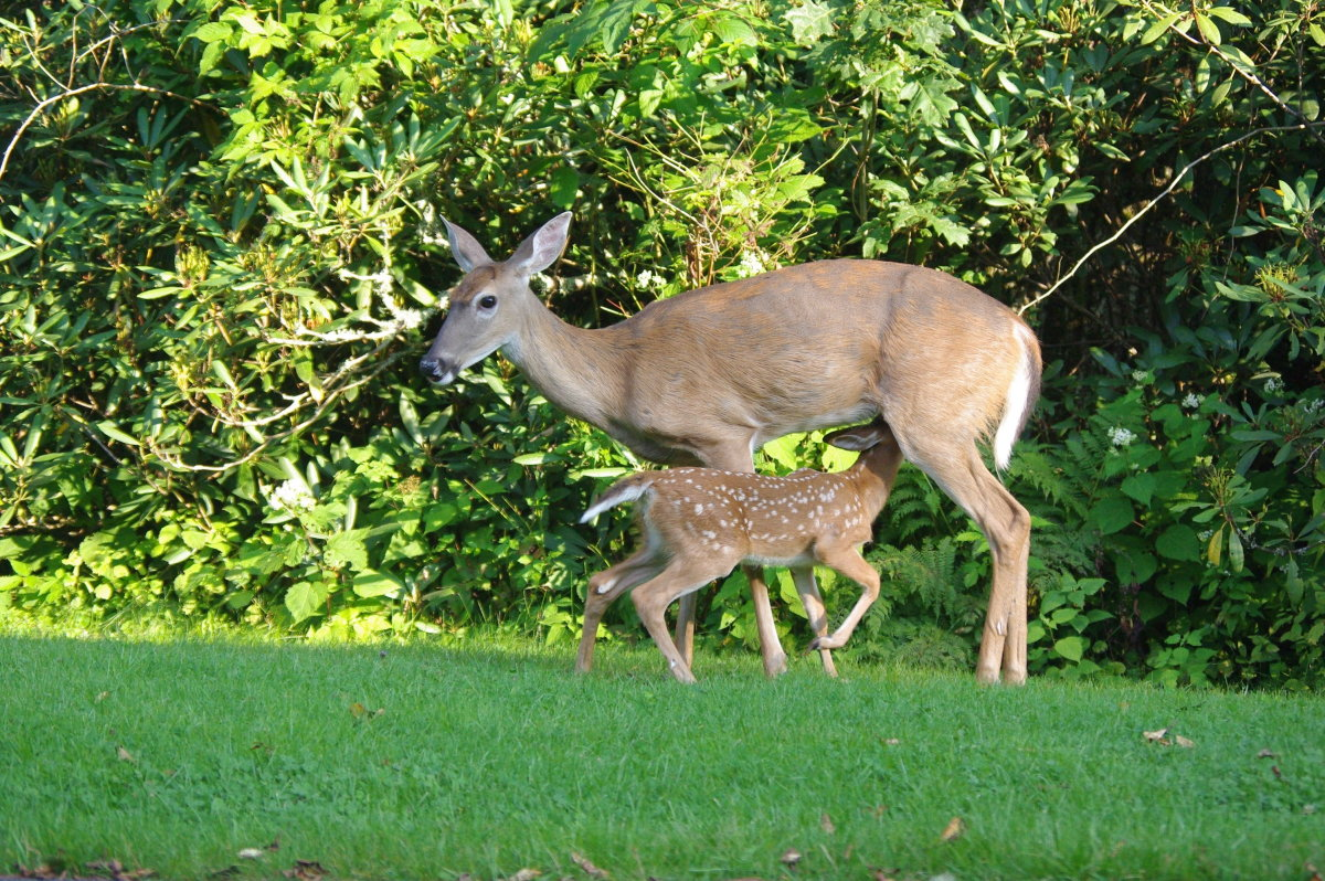 This doe was feeding its fawn at roadside of Grandfather Mountain, North Carolina.