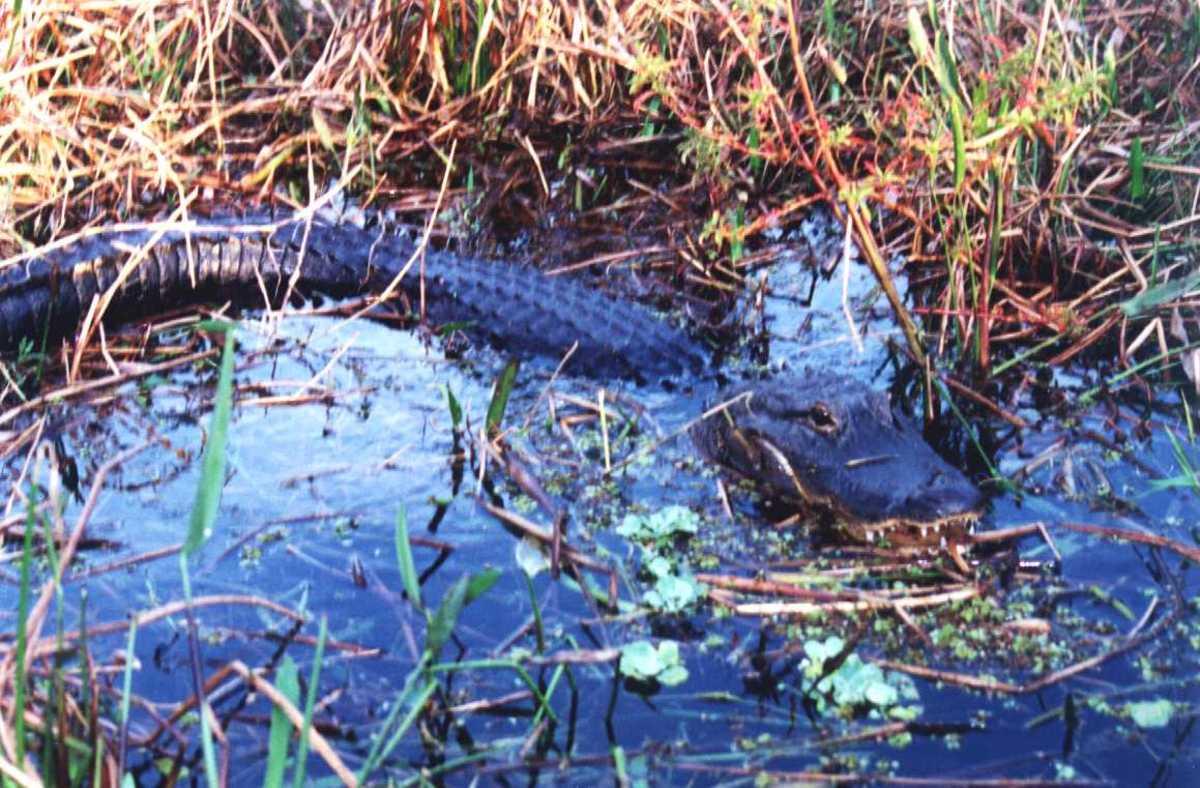 This mama gator was angry.