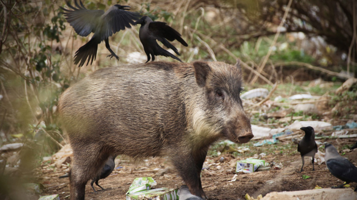 K2 and us would run into wild boars from plantations in the planes to the woodlands of sub-Himalayas.