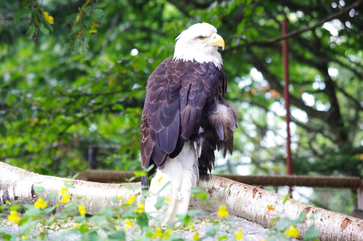 Bald eagle at Lake Osceola near Orlando