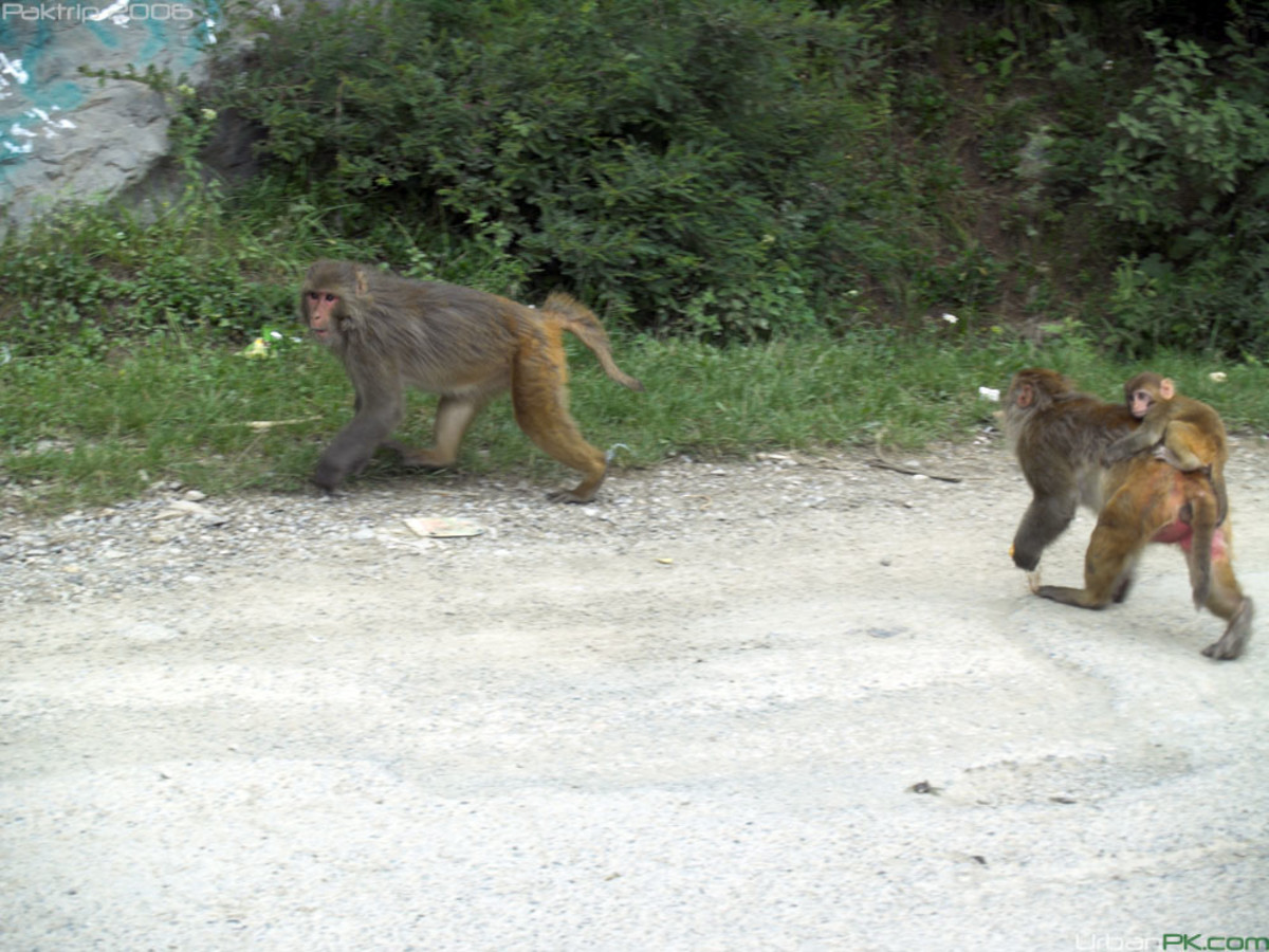 A male and a female with baby rhesus macaques in Galliyat region. K2 may not as easily tree them as he does a raccoon.